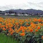 朝の散歩のおり徳島市応神町で見た向日葵です。黄色が綺麗でした。 ・伸びるだけ向日葵伸びて梅雨明ける(和良)