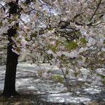 花屑を敷き詰めている新宿御苑の八重桜です。花吹雪も見事でした。  ・花屑を十重に敷きゐて八重桜(和良)