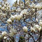 徳島市中央公園の白木蓮は青空に向かって咲き満ちていました。     ・天へ向く白木蓮の一斉に(和良)
