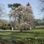 ブローニュの森でしだれ桜を見ました。見事な枝ぶりでした。 ・ブローニュの森なるしだれ桜かな(和良)