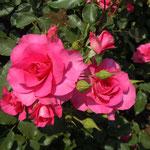 藍住町の薔薇園で見た赤い薔薇です。生き生きしていました。                            ・今朝咲きし薔薇太陽を正面に(和良)