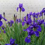 阿波市土成町の法輪寺の門前の畦にあやめが咲いていました。       ・凛として水田の畦のあやめかな(和良)
