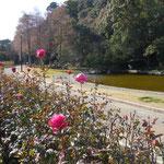 徳島城址のある徳島市中央公園の冬の薔薇です。                                   ・風痛みしても凛々しく冬の薔薇(和良)