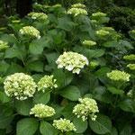 入梅の日、大塚製薬能力開発研究所の紫陽花も花を開き始めました。  ・七変化始まる白でありにけり(和良)