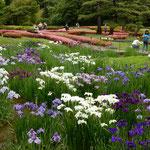 東御苑の菖蒲園では傾いている花菖蒲が一つもありませんでした。    ・傾ぐもの一つとてなき菖蒲園(和良)