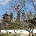 岡山県総社市の備中国分寺に行って来ました。小春日和でした。  ・木守柿見上げ五重塔見上げ(和良)