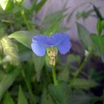 我が家の庭の露草です。久しぶりの雨に輝いて見えました。 ・露草の露草色や今朝の雨(和良)