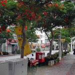那覇市では鳳凰木の真紅の花が街路を埋めていました。 ・台風の置き土産かな花むしろ(和良)