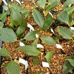阿南市の椿自然園の温室では挿木で苗を作っていました。        ・挿木せし椿に真白なる蕾(和良)