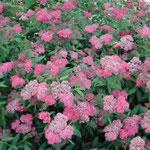 皇居東御苑で「しもつけの花」を見つけました。綺麗でした。 ・しもつけの寄り添ふ如く咲きにけり(和良)