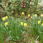 椿自然園には椿と共に黄水仙が群れ咲く径もありました。        ・椿咲く径に群れ咲き黄水仙(和良)
