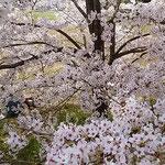 とくしま植物園の満開の桜の下でお弁当を食べている二人がいました。  ・咲き満てる桜の下の二人かな(和良)