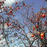絵画展の帰途、鳴門市で鈴なりの柿を見ました。 ・画展見て帰る小道や柿の秋(和良)