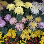 牧野植物園の菊花展では沢山の種類の菊が咲き競っていました。                          ・それぞれの個性を咲かせ菊花展(和良)