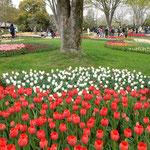 国営昭和記念公園のチューリップ園は立木の中に広がっていました。   ・木の茂る丘を敷き詰めチューリップ(和良)