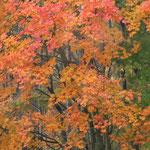 海抜1200メートルにある草津温泉の紅葉はまことに色鮮やかでした。            ・湯に仰ぐ草津の紅葉ことに濃く(和良)