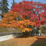 大塚比叡山荘に宿泊しました。朝の光に輝く冬紅葉は一段と綺麗でした。  ・山荘の朝はきりりと冬紅葉 (和良)