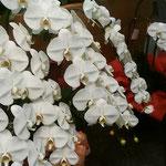 徳島市で開かれた華道展では胡蝶蘭が輝いて見えました。  ・ひときわの明るさ室の胡蝶蘭(和良)
