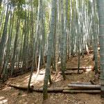 筍を掘る手入れされた竹林にはよく日差が通っていました。 ・筍を掘る竹林の明るさよ(和良)