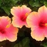 咲き続くハイビスカスの花に朝露が残っていました。   ・咲き続くハイビスカスに朝の露(和良)