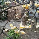 上野東照宮の牡丹園には三椏の花も咲いていました。          ・三椏の花は質素でありにけり(和良)