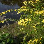 皇居東御苑で見た山吹です。鮮やかな黄色に目を引かれました。  ・黄色ならゴッホゴーギャン濃山吹(和良)