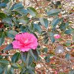廃校となった農大の校庭では山茶花が散っていました。                ・廃校の庭の山茶花散るばかり(和良)