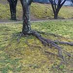蜂須賀桜の走り根を覆い尽さんばかりに草が萌えていました。  ・桜の根伸びゆく土手に草萌ゆる(和良)