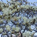 徳島城公園の薔薇園で見た木蓮です。満開になっていました。        ・木蓮の青空覆ひ尽くし咲く(和良)