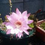 我が家のサボテンが花をつけました。太陽に輝いています。         ・サボテンの花の眩しき夏の朝(和良)