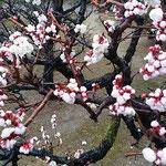 徳島城公園の梅林では臥竜梅が今年も満開の花をつけていました。 ・蜂須賀の世より咲き継ぎ臥竜梅(和良)