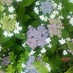 雨上がりの額の花は垣根越しの光に輝いていました。  ・垣根よりこぼるる光額の花(和良)