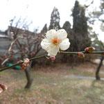 徳島城公園の探梅で一輪の白梅に出合えました。嬉しかったです。             ・梅探し来て一輪に出合へたる(和良)