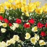 65品種38000本のチューリップが植えられていました。                                 ・なかんづく赤白黄色チューリップ(和良)
