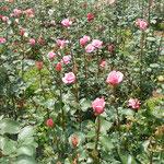 徳島城公園の薔薇園には若々しい薔薇もたくさんありました。         ・うら若き薔薇の真っ直ぐ天に向き(和良)