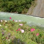 降り続いた雨後の清津峡は激流が逆巻いていました。           ・激流の逆巻く岸辺秋桜(和良)