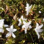 旧芝離宮恩賜庭園には躑躅の帰り花が咲き競っていました。         ・競い咲き出しは躑躅の帰り花(和良)