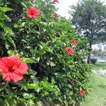 徳島市の助任川水際公園で見たハイビスカスです。今が盛りでした。 ・梅雨晴れてハイビスカスの朱色かな(和良)
