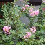 九月になってようやく咲き始めた我が家の百日紅です。   ・九月来て咲き始めたる百日紅(和良)