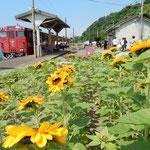 「伊予灘ものがたり」では向日葵の咲く無人駅に停車しました。     ・向日葵の駅に観光列車かな(和良)
