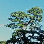 大きな松の木の天辺まで登って松手入されていました。           ・天辺は見上げるばかり松手入(和良)