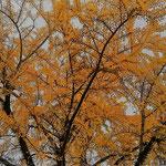 道後公園には大きな銀杏の木があり、黄落の最中でした。          ・黄落といふは天より降ってくる(和良)