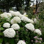 夏でも涼しい富良野ではまだ紫陽花が花をつけていました。       ・紫陽花や北の富良野に梅雨はなく(和良)