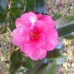 五百羅漢堂の前庭の山茶花は太陽に向かって咲いていました。 ・山茶花は太陽が好き南面に(和良)