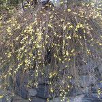 神山町で見た迎春花です。石垣の青石が雨に濡れて綺麗でした。  ・石垣は阿波の青石迎春花 (和良)