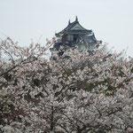 鳴門市では岡崎城を見上げる妙見山公園の桜も満開でした。                ・天守閣押し上げるかに桜咲く(和良)