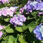 梅雨晴れの鳴門の紫陽花は色が極まって見えました。          ・紫陽花の色を極めて雨上がる(和良)