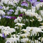 東御苑の菖蒲園では清楚な色の中でも白が際立って見えました。     ・その中に際立てる白花菖蒲(和良)