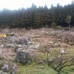 梅林はカルストの大地にあり大きな岩が転がっていました。       ・カルストの岩の転がる梅の里(和良)