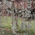 大塚製薬能力開発研究所の糸桜です。日本画のような風景になりました。  ・洋画より日本画が好き糸桜 (和良)